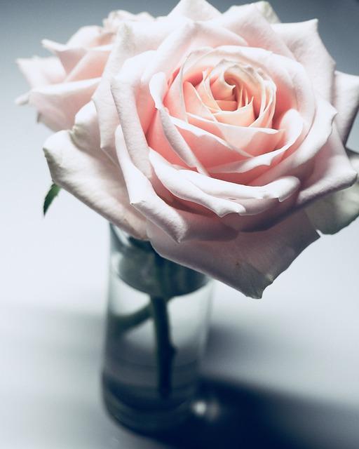 rose-3112446_640